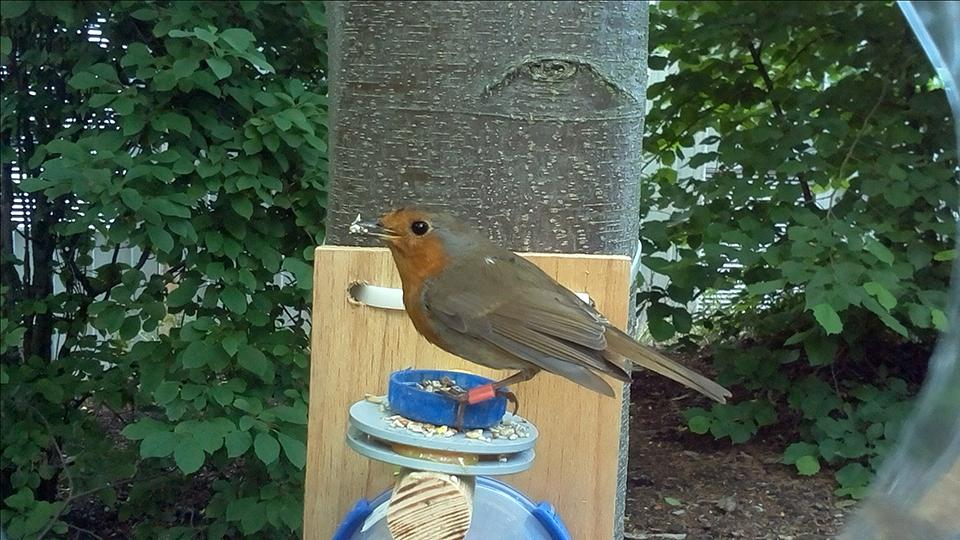 A tagged robin on one of the freaders photographed using a My Naturewatch camera.