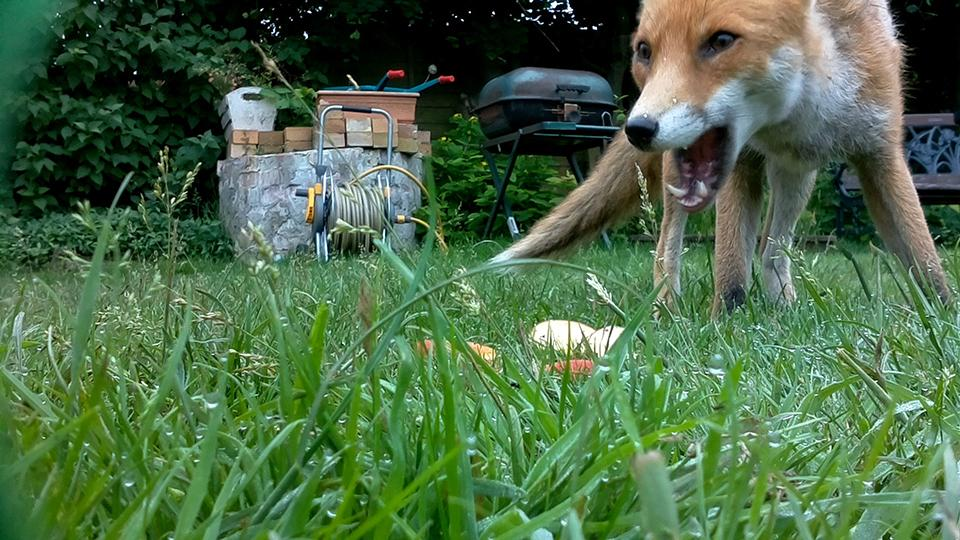 A camera installed in a volunteer's back garden captures a fox out in daytime. Photo: Leila Racaniere